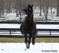 Morgan stallion in Kentucky