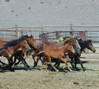 Mustangs in BLM holding