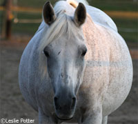 Obese horse