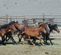 The BLM is removing around 1,000 wild horses due to lack of forage