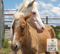 105 Miniature Horses were surrendered by a Texas owner