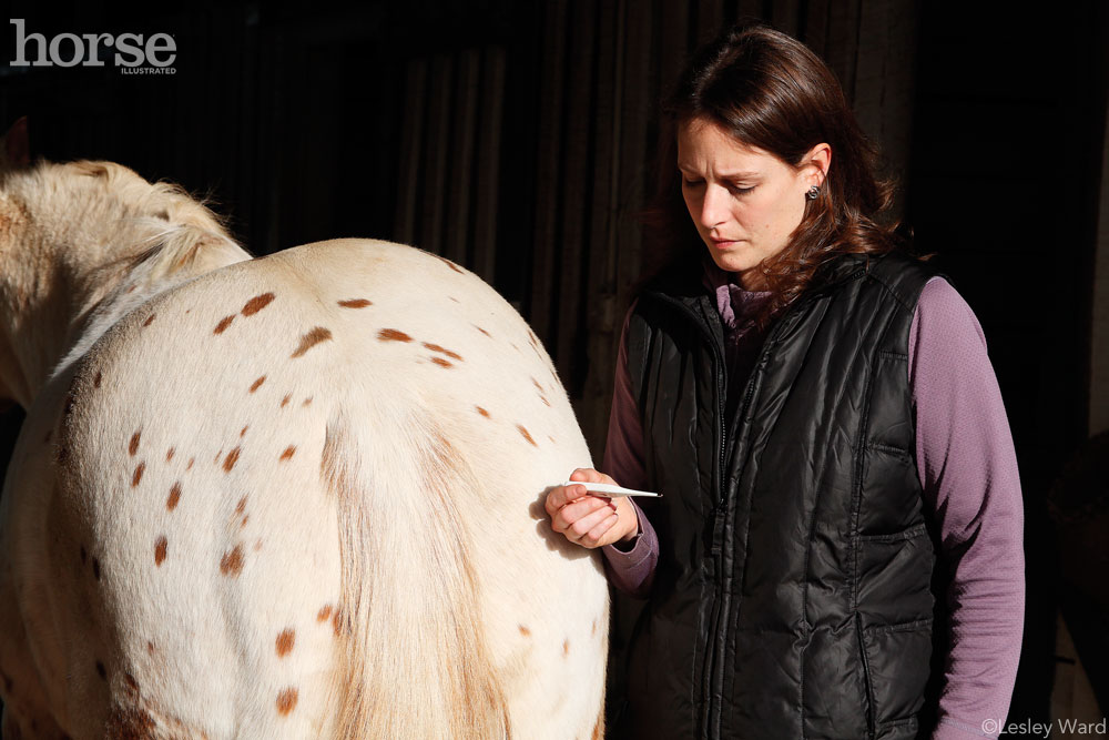 Taking a horse's temperature