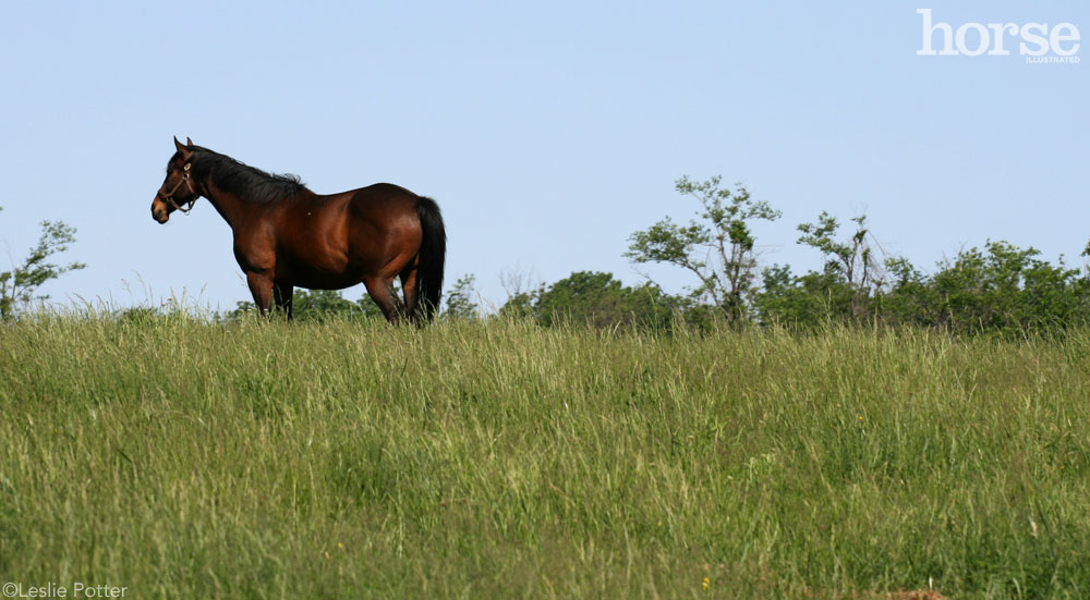 Thoroughbred in the pasture