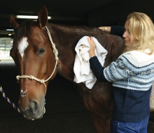 Toweling a horse