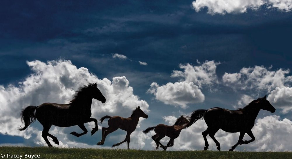 Morgan Mares and Foals