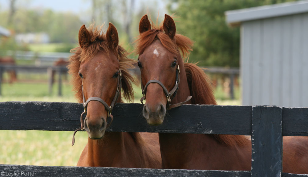 Yearling Horses
