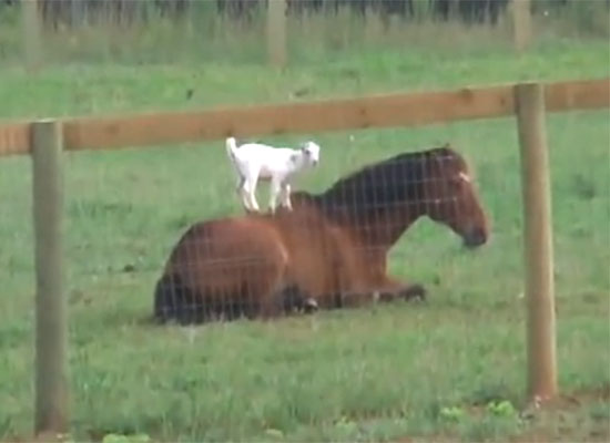 Baby Goat Climbs Horse