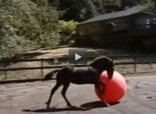 Friesian Colt Plays Soccer