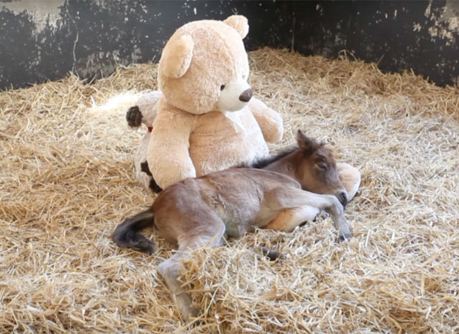 Orphan Foal and Teddy Bear
