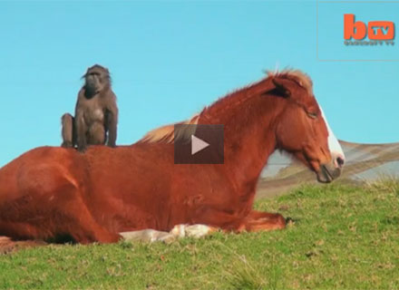 Baboon and Horse