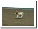 Baby Miniature Horse on the Loose!