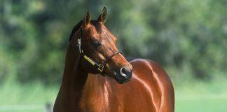 Bay American Quarter Horse