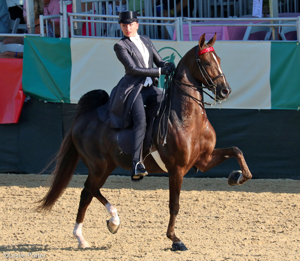 Three-gaited American Saddlebred competing in a horse show