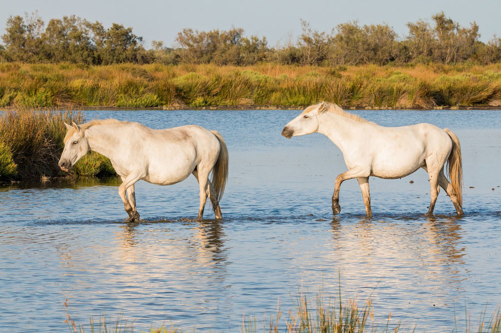 Two Camargue Horses in the water