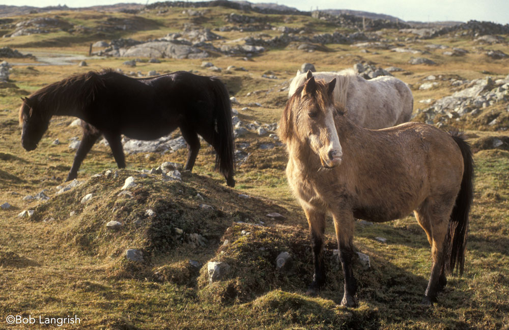 Connemara Ponies in Ireland