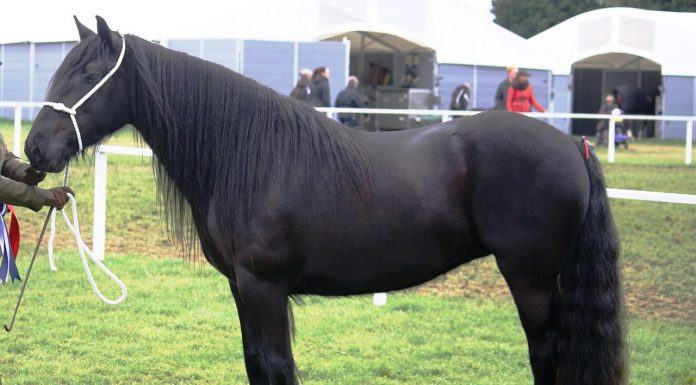 Dales Pony mare shown in-hand