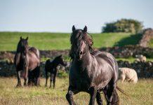 Fell Ponies in a field