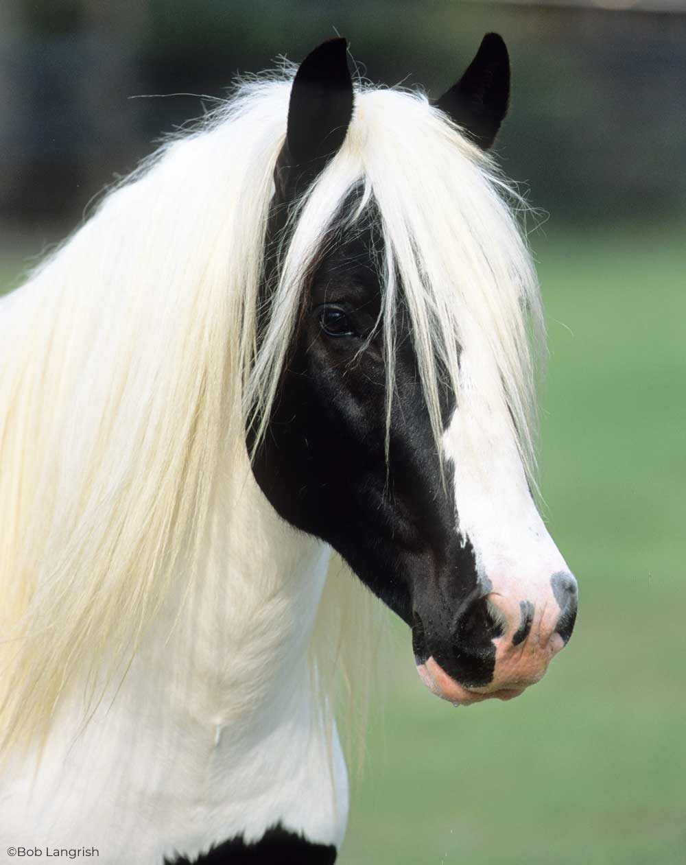 Headshot of a Gypsy Horse