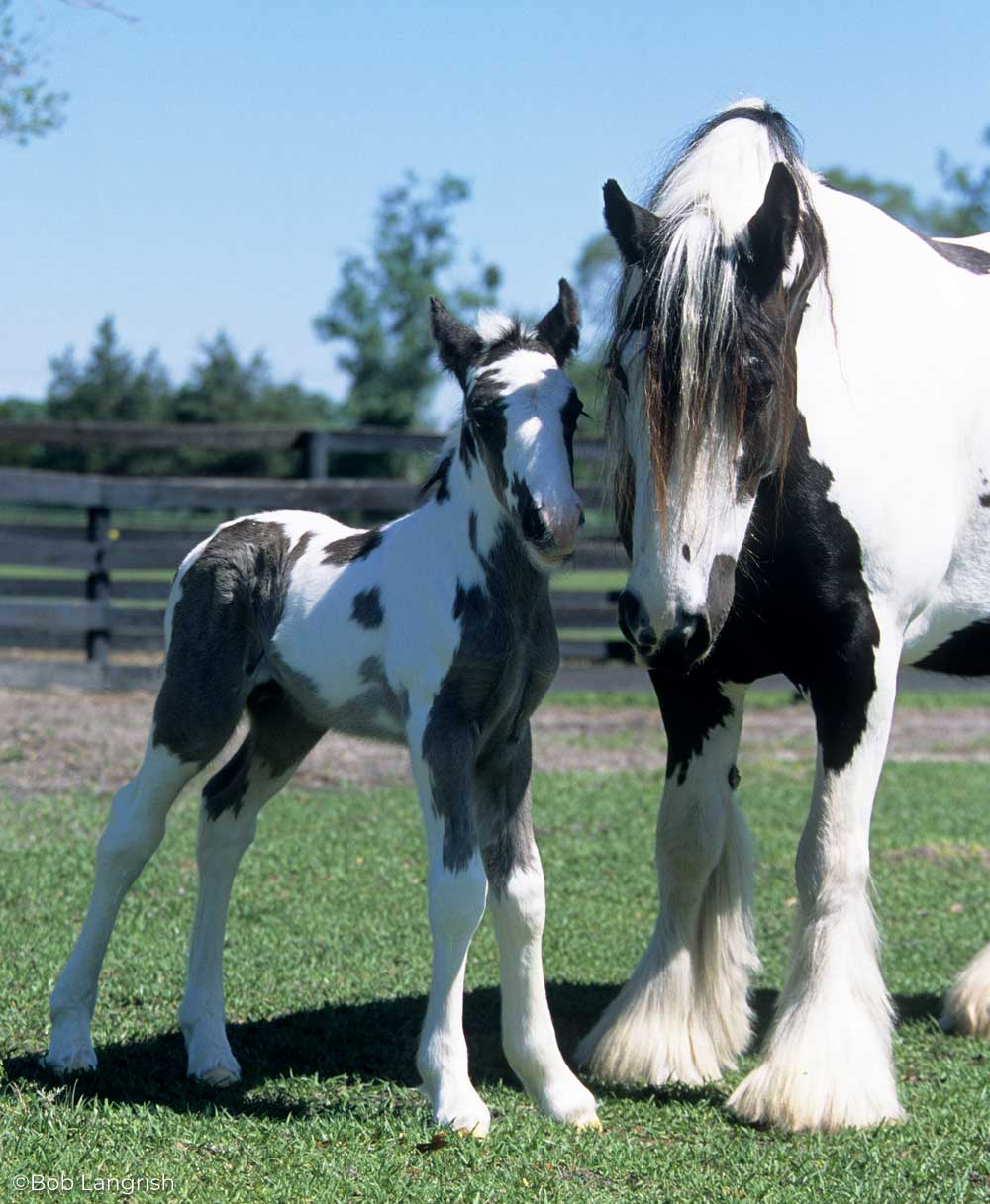 Gypsy Horse mare and foal