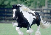 Galloping Gypsy Horse
