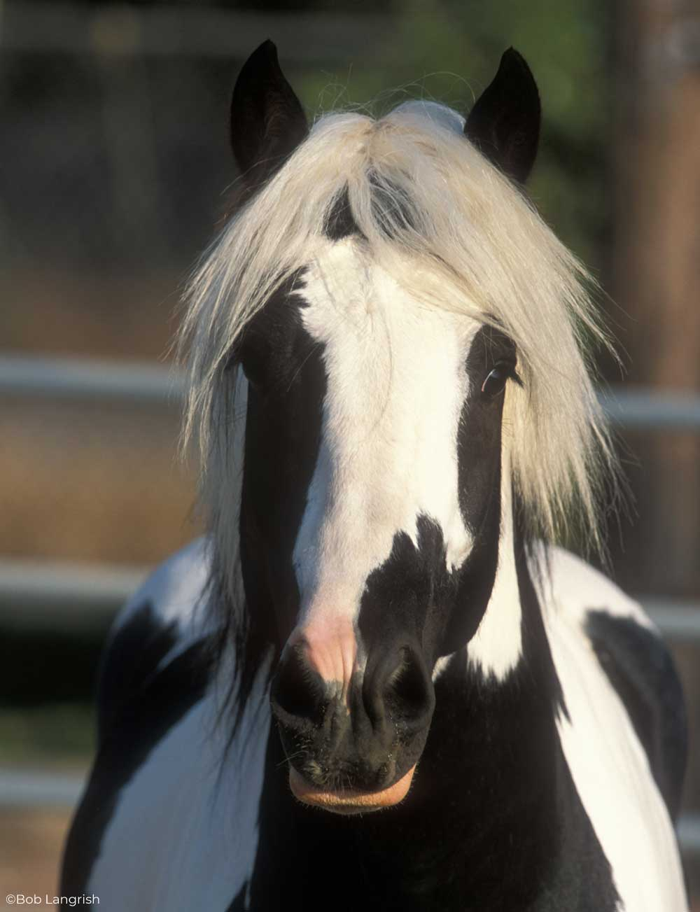 Headshot of a black and white Gypsy Horse