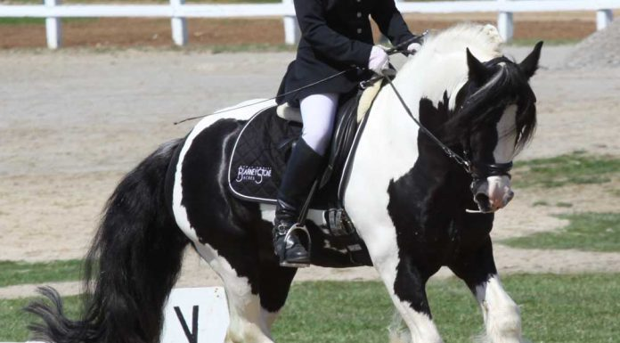 Gypsy Horse cantering in a dressage arena at a horse show