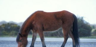 New Forest Pony grazing