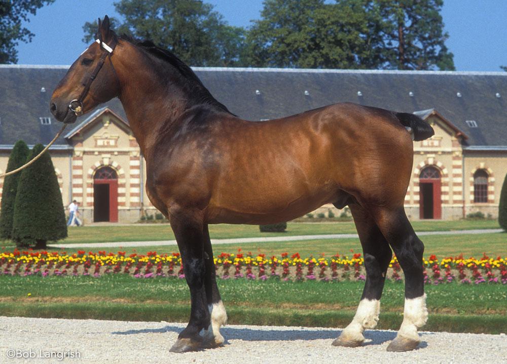 Norman Cob horse conformation