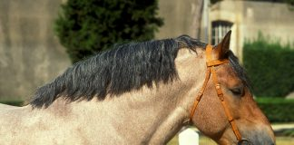 Norman cob horse headshot