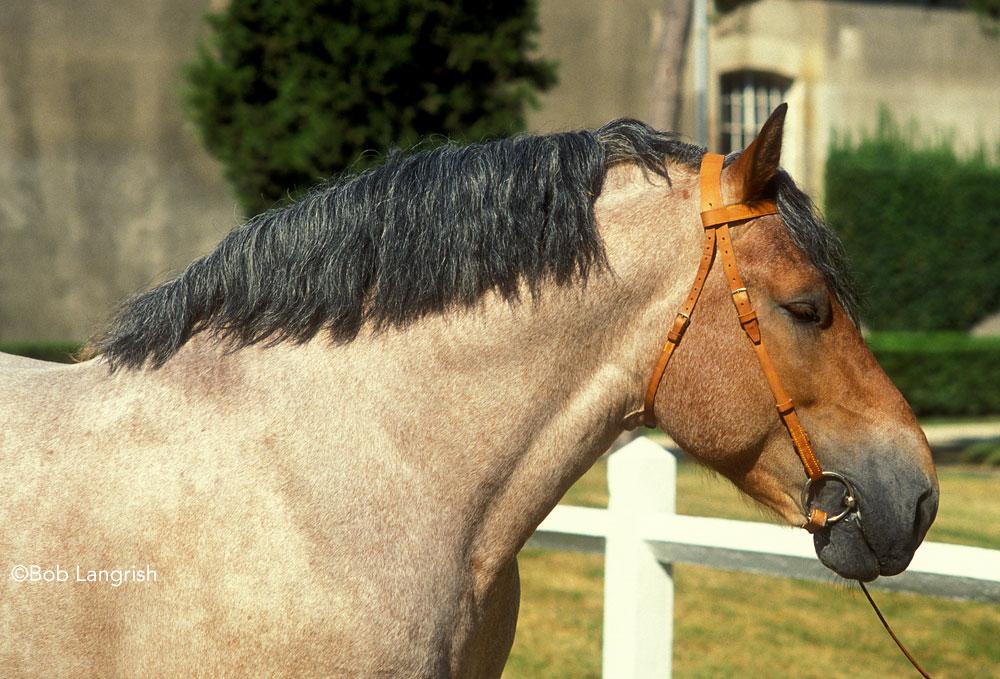 Norman cob horse headshot
