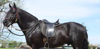Paso Fino horse conformation