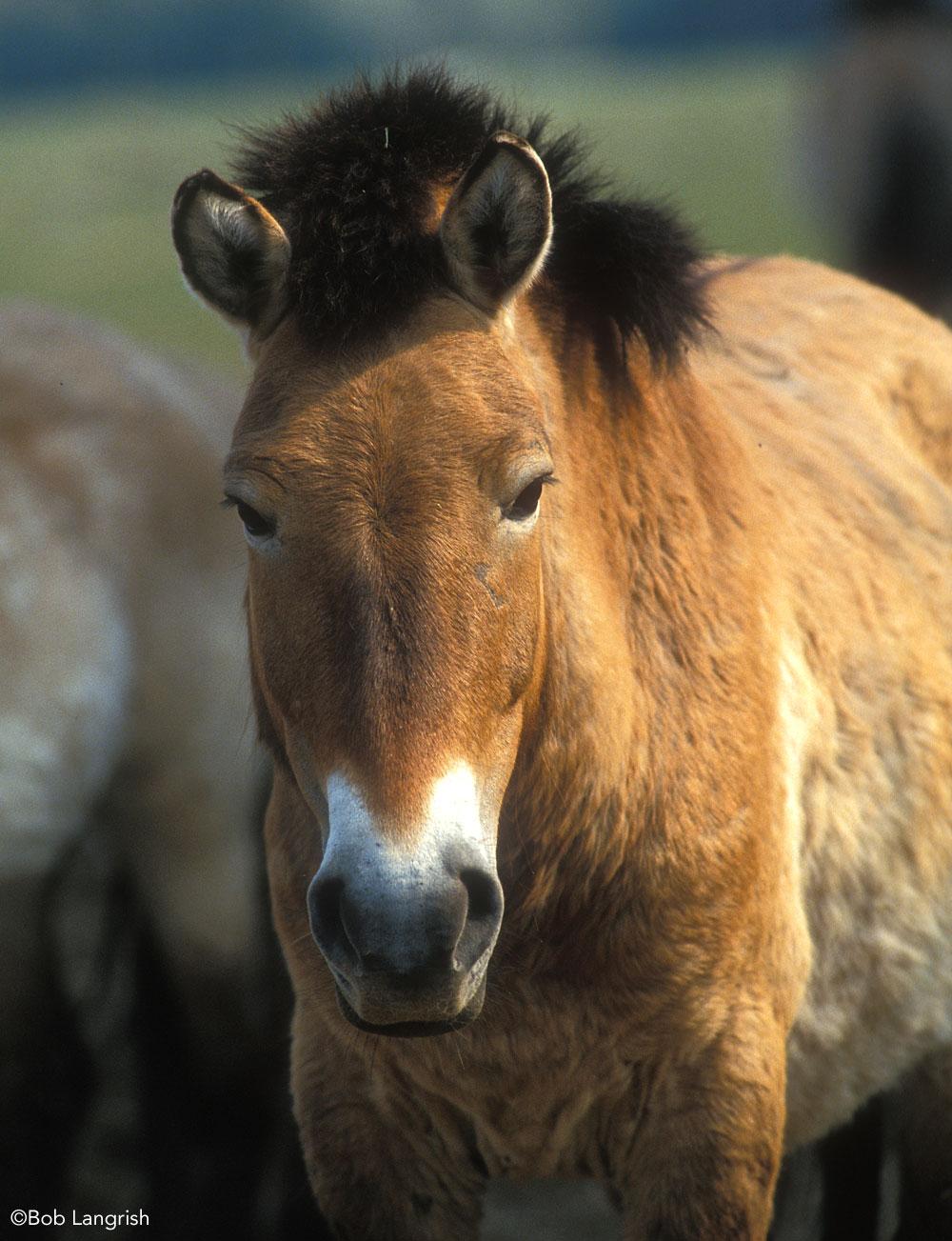 Closeup of Przewalski's Horse