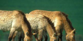 Przewalski's Horses grazing