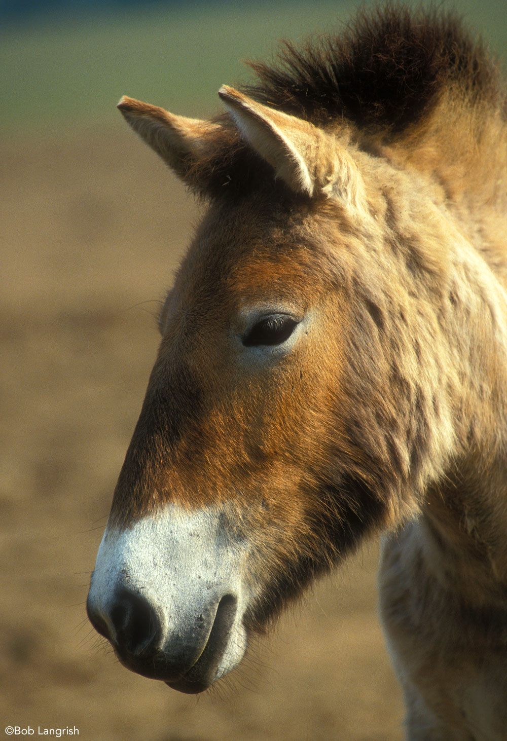 Przewalski's Horse Asian Wild Horse Closeup