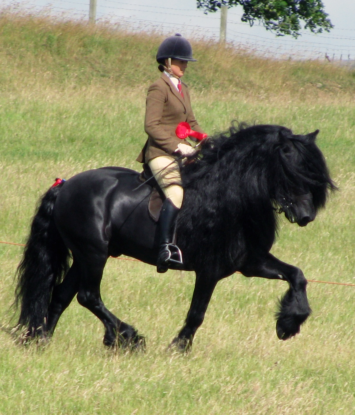 Dales Pony stallion being ridden