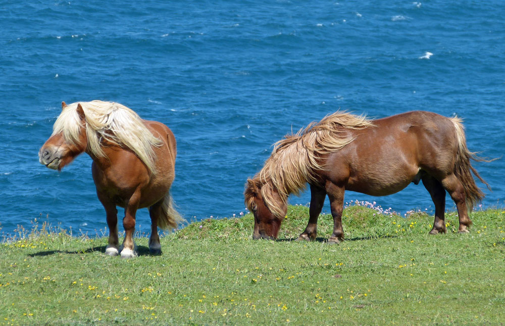 Shetland Ponies by the sea