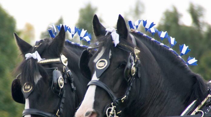 Shire horses closeup