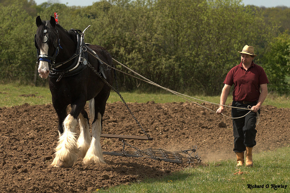 Shire horse pulling a plow