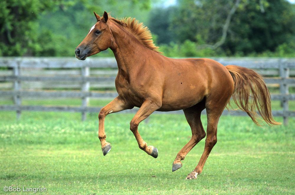 Westphalian horse cantering in a field