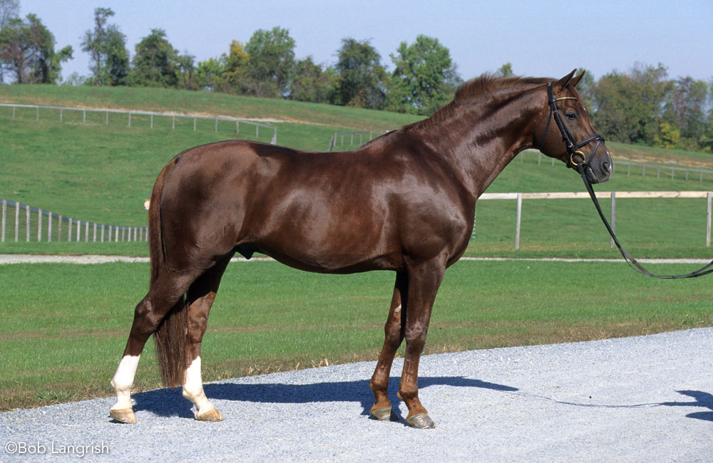 Westphalian horse conformation