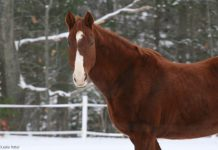 Chestnut Saddlebred horse in the snow
