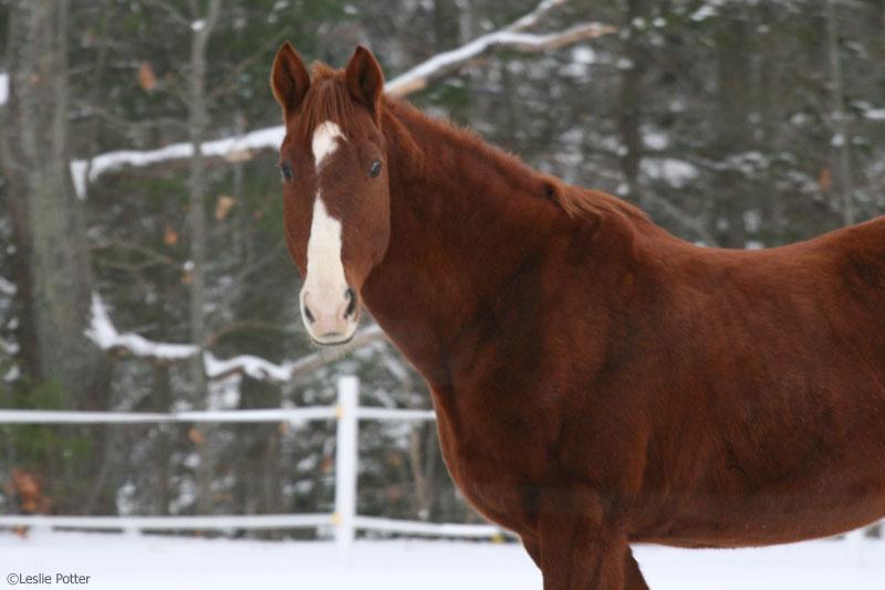 Chestnut Saddlebred horse in the snow