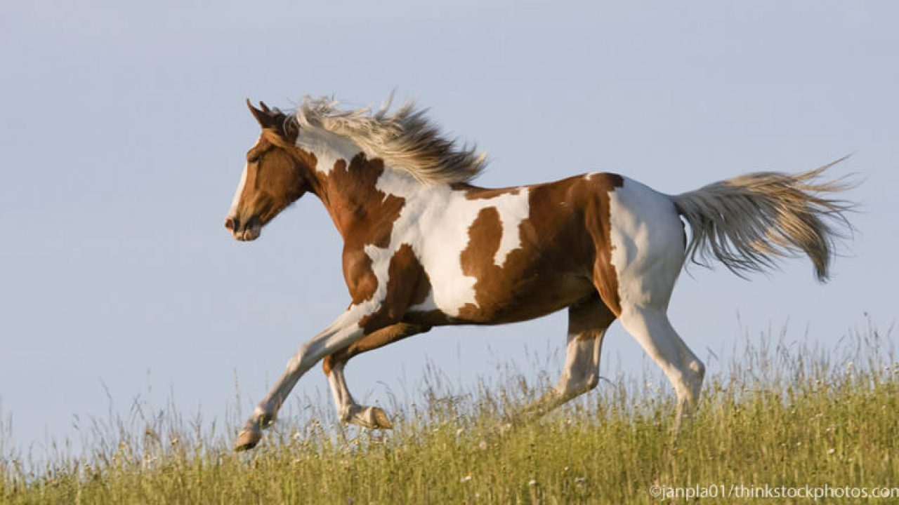 Learn The Differences In A Paint Horse Vs A Pinto Horse Illustrated