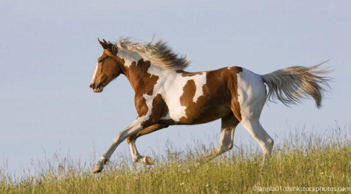 Pinto horse cantering