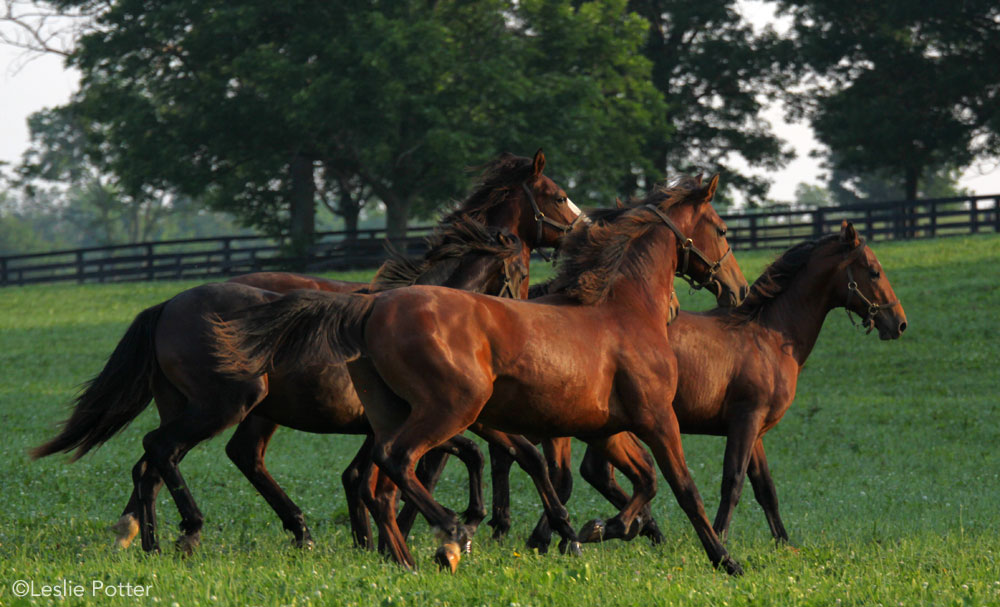 Yearling horses running in a field