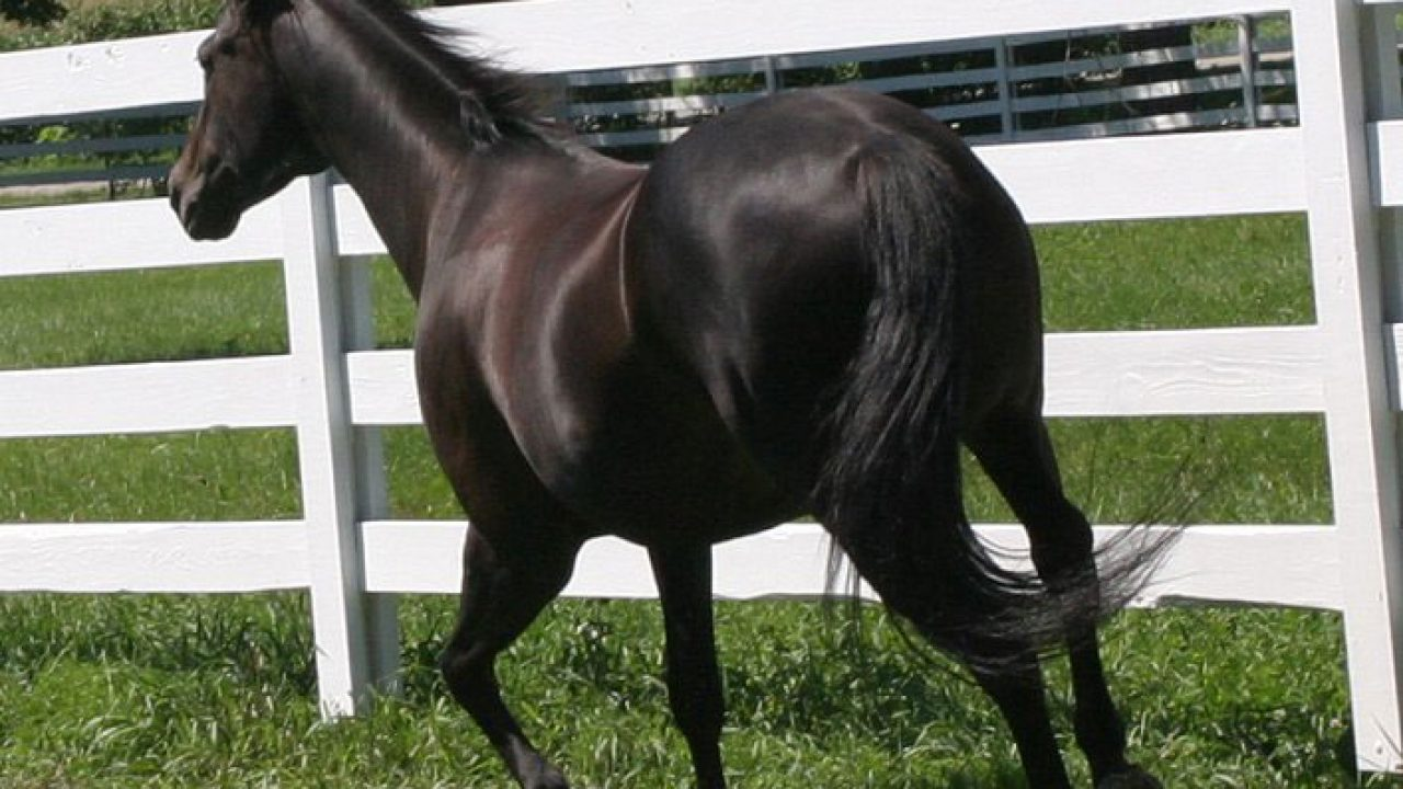 A Winning Combination Appendix Quarter Horse Horse Illustrated