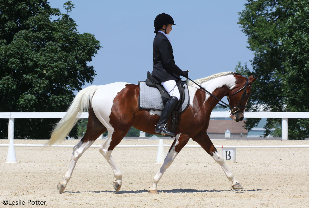 Pinto half-Arabian horse competing in dressage