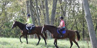 Thoroughbred horses trail riding