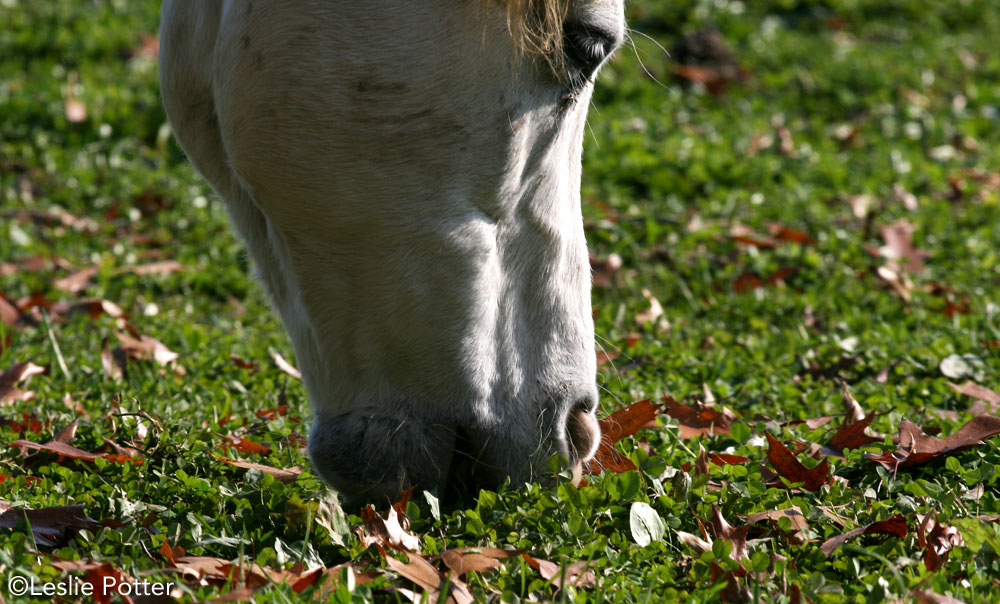 Closeup of a horse grazing in fall