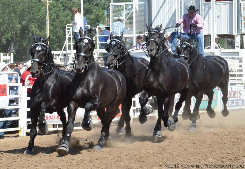 Percheron Thunder hitch